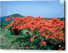 Flamboyan Tree In Bloom Culebra Puerto Rico Acrylic Print by George Oze