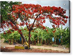 Flamboyan Treee Blooming On A Banana Plantation Acrylic Print by George Oze