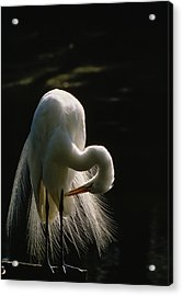 Flamboyant Plumes Mark The Breeding Acrylic Print by Farrell Grehan