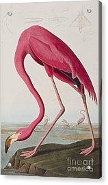 Flamingo Acrylic Print by John James Audubon