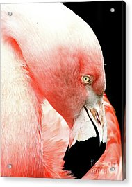 Flamingo . R7927 Acrylic Print by Wingsdomain Art and Photography