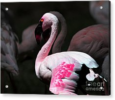 Flamingo Acrylic Print by Wingsdomain Art and Photography