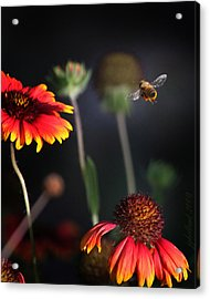 Flight Of A Honey Bee Acrylic Print by Joseph G Holland