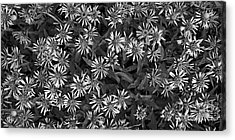 Aster Acrylic Print featuring the photograph Flower Carpet by Priska Wettstein