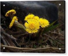 Flower Weed Acrylic Print by Svetlana Sewell