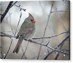 Fluffy Female Cardinal In The Apple Tree Acrylic Print by Laurie With