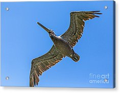 Flying Dino Acrylic Print by Kate Brown