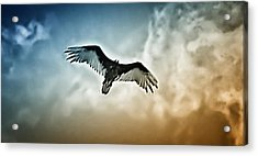 Flying Falcon Acrylic Print by Bill Cannon