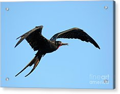 Flying Great Frigate Acrylic Print by Sami Sarkis