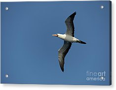 Flying Masked Booby In Flight Acrylic Print by Sami Sarkis