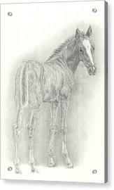 Foal Acrylic Print by Jennifer Nilsson