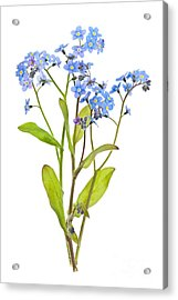 Forget-me-not Flowers On White Acrylic Print by Elena Elisseeva