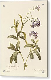 Forget Me Not Acrylic Print by Pierre Joseph Redoute