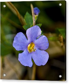 Forget Me Not Acrylic Print by Svetlana Sewell
