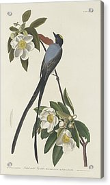 Forked-tail Flycatcher Acrylic Print by John James Audubon