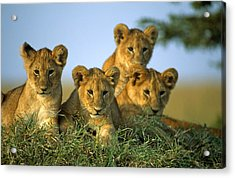 Four Lion Cubs Acrylic Print by Johan Elzenga