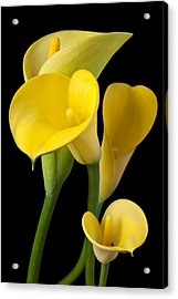 Four Yellow Calla Lilies Acrylic Print by Garry Gay