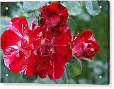 Fourth Of July Roses Acrylic Print by Jacqueline Russell