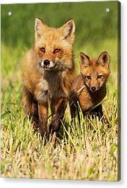 Fox Family Acrylic Print by Mircea Costina Photography