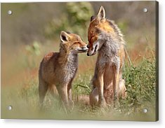 Fox Felicity Acrylic Print by Roeselien Raimond