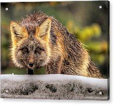 Fox Hunting In The Snow II Acrylic Print by Paul W Sharpe Aka Wizard of Wonders