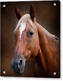 Fox - Quarter Horse Acrylic Print by Sandy Keeton
