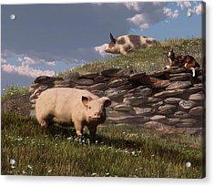 Free Range Pigs Acrylic Print by Daniel Eskridge