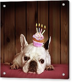 French Bulldog With Birthday Cupcake Acrylic Print by Retales Botijero