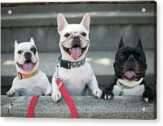 French Bulldogs Acrylic Print by Tokoro