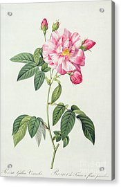 French Rose Acrylic Print by Pierre Joseph Redoute