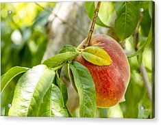 Fresh Peach Hanging In Orchard Acrylic Print by Teri Virbickis