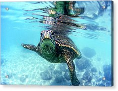 friendly Hawaiian sea turtle  Acrylic Print by Sean Davey