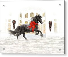 Friesian Christmas Acrylic Print by Fran J Scott