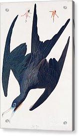 Frigate Penguin Acrylic Print by John James Audubon