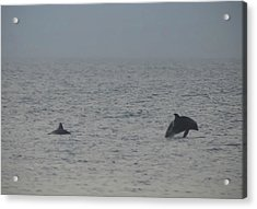 Frolicking Dolphins Acrylic Print by Bill Cannon