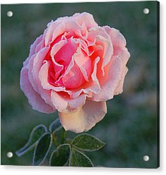 Frosty Rose Acrylic Print by Monica Lewis