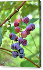 Fruit Of The Vine Acrylic Print by Kristin Elmquist