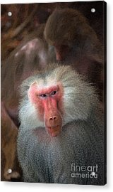 Funny Baboon Acrylic Print by Andrew Michael