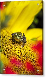 Funny Frog On A Sunflower Acrylic Print by Christina Rollo