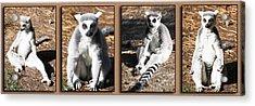 Funny Lemurs Acrylic Print by Svetlana Sewell