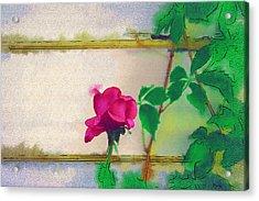 Garden Rose Acrylic Print by Holly Ethan