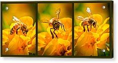 Gathering Pollen Triptych Acrylic Print by Bob Orsillo