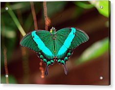 Geen Blue Butterfly Acrylic Print by Don  Wright