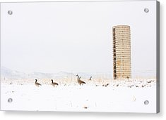 Geese In The Snow With Silo Acrylic Print by James BO  Insogna