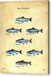 Genus Oncorhynchus Acrylic Print by Logan Parsons
