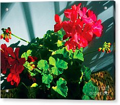 Geranium Acrylic Print by David Klaboe