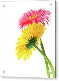 Gerber Flowers Acrylic Print by Carlos Caetano