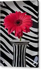 Gerbera Daisy In Striped Vase Acrylic Print by Garry Gay