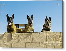 German Shephard Military Working Dogs Acrylic Print by Stocktrek Images