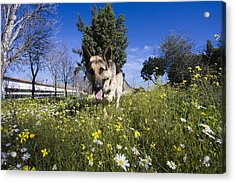 German Shepherd Acrylic Print by Andre Goncalves